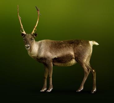 Северный олень Карибу