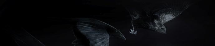 Голубь и вороны
