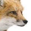 furyfox